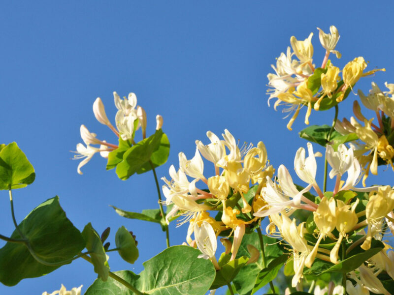 What are honeysuckles?
