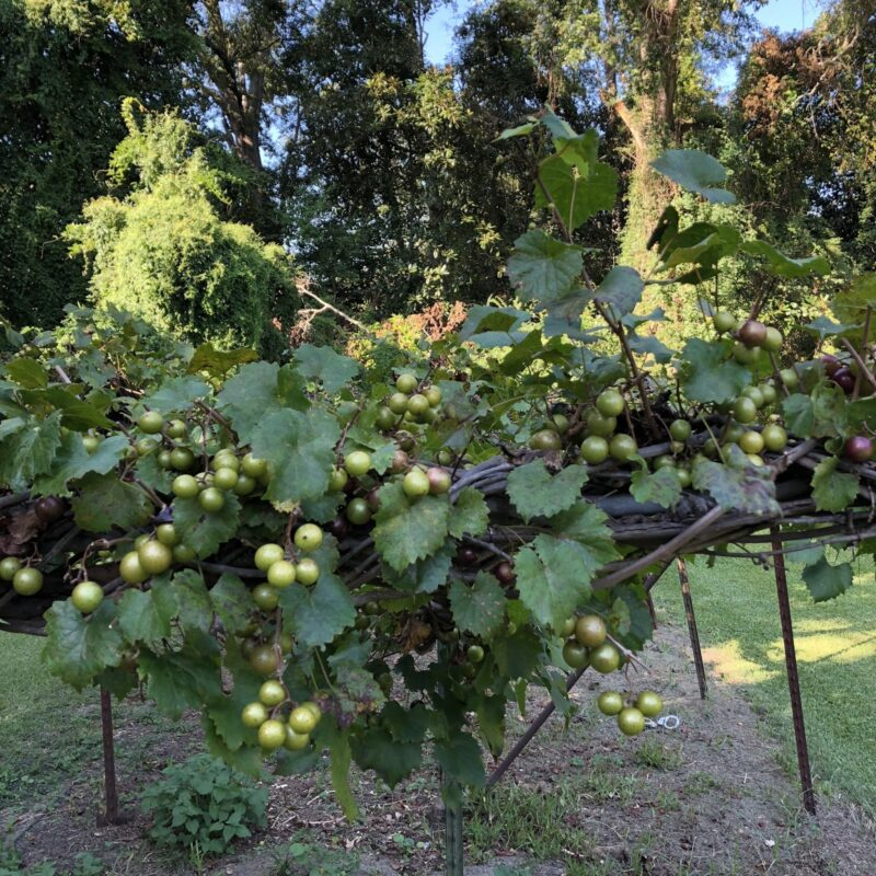 What is muscadine grape