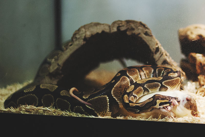 Don't waste time! Let's apply these tips to get your ball python to eat