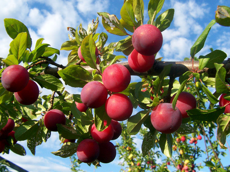 how to eat plums