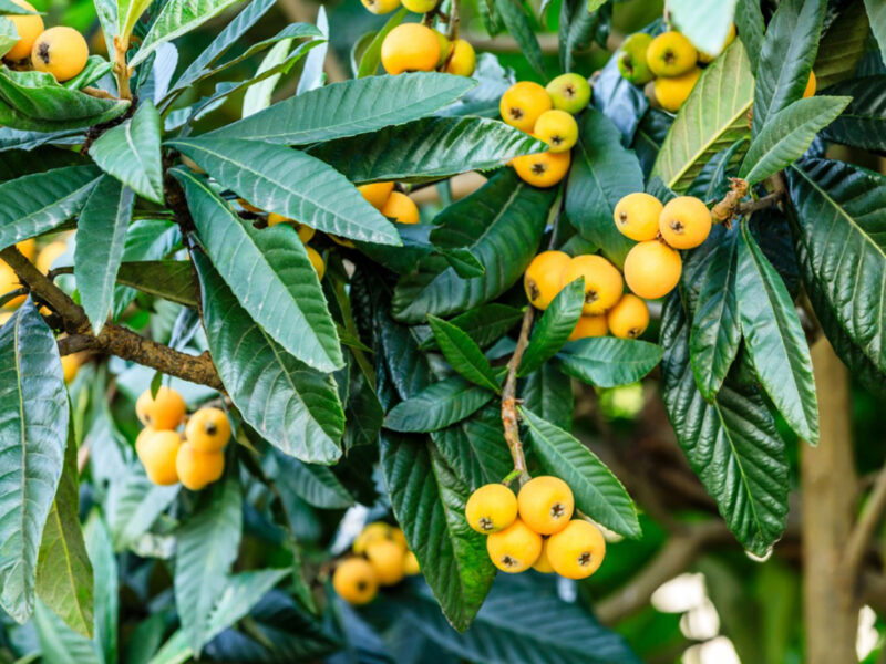 how to eat loquat
