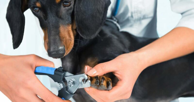 How to restrain a dog to clip its nails with standard hold