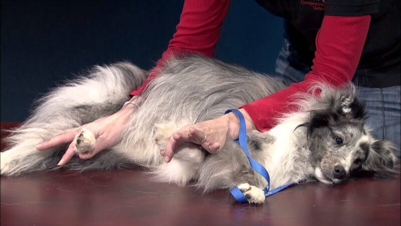 How to restrain a dog to clip its nails with the Burrito method